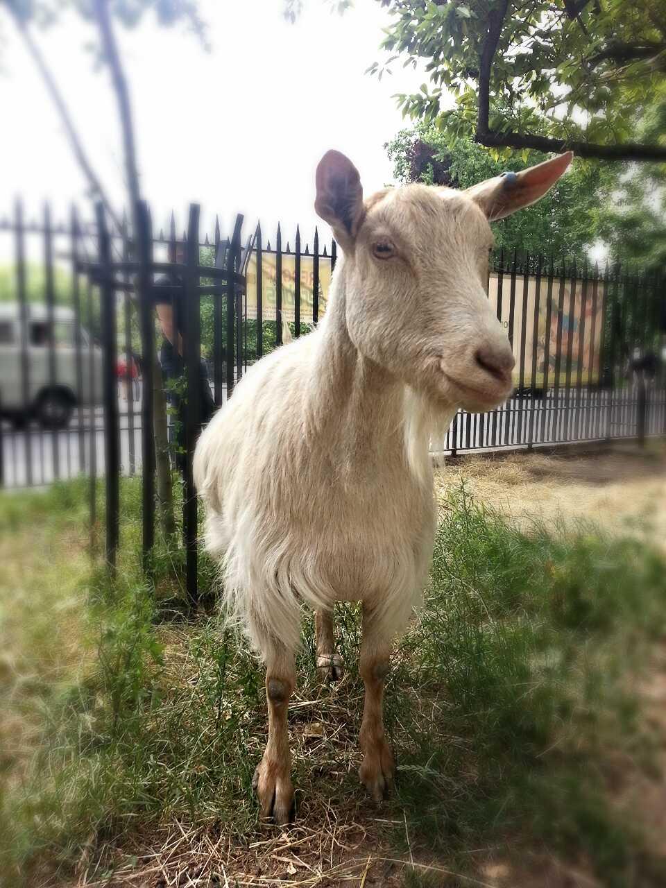 Clara (Goat)