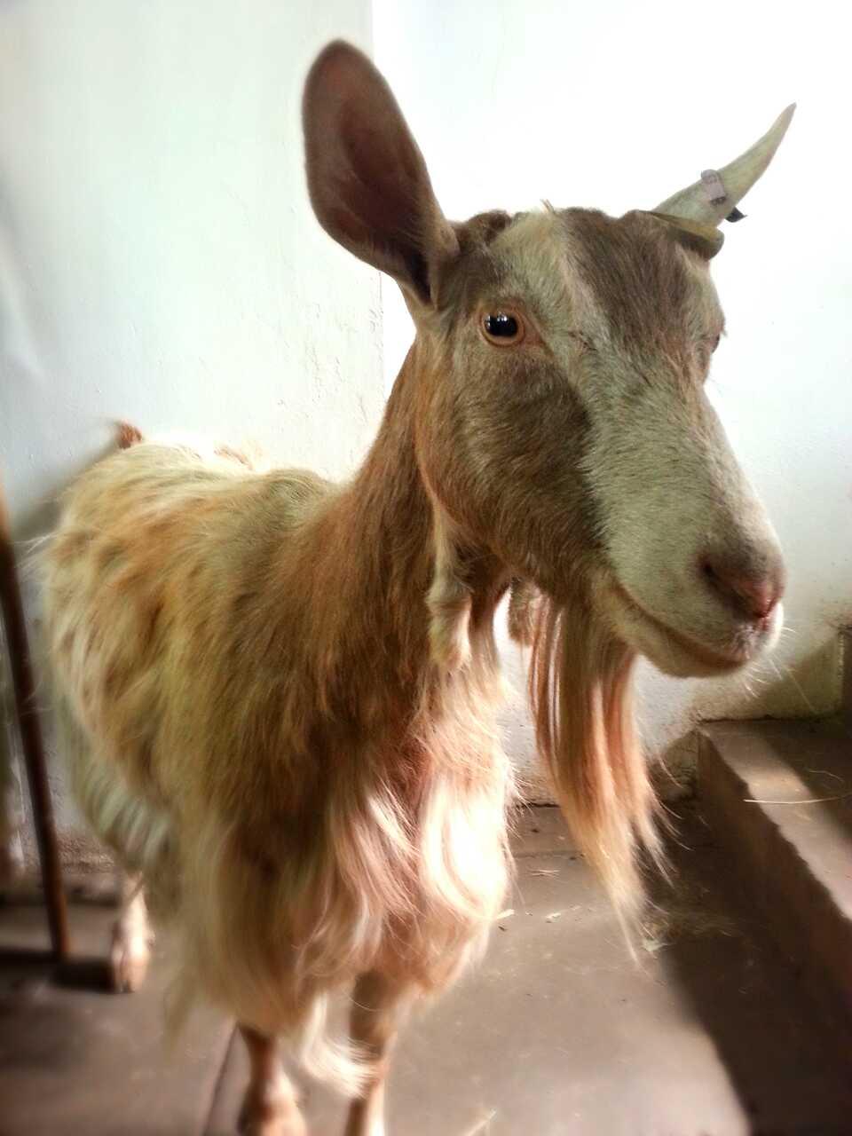 Jessica (Goat)